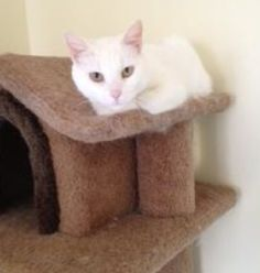 This sweet and affectionate girl is Snowball. She came to our shelter not too long ago. If you are looking for an amazing cat, then Snowball is your girl. She is the type of cat that would curl up with you on a rainy day or when it's time to go to sleep.  She loves a good head rub and affection centered around her. She is up to date on shots and spayed. Would you like to come and say hi? Please call 864.243.4222 or email concern4animals@bellsouth.net.