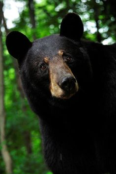 American black bears (Ursus americanus) are the most common and widely distributed species of bears in North America. Bear Photos, Bear Pictures, Animal Pictures, Bear Cubs, Panda Bear, Polar Bear, Tiger Cubs, Tiger Tiger, Bengal Tiger