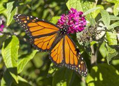 https://flic.kr/p/NuaBPS | Monarch Butterfly