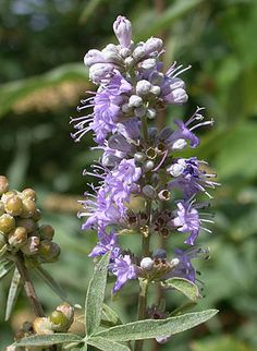Chasteberry - Agnus Castus - A Great Healing Herb for Women