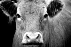 cow black and white photography - Google Search