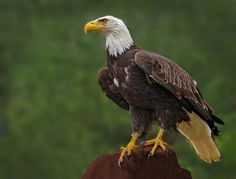 BALD EAGLE by Ronald Coulter on 500px