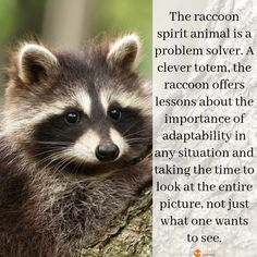 Raccoon Spirit Animal The raccoon spirit animal is a problem solver. A clever totem, the raccoon offers lessons about the importance of adaptability in any situation and taking the time to look at the entire picture, not just Raccoon Craft, Baby Raccoon, Animal Meanings, Animal Symbolism, Animal Spirit Guides, Your Spirit Animal, Raccoon Drawing, Raccoon Tattoo, Pets