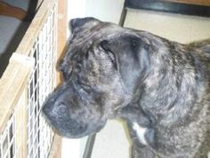 Goon - Adoption pending is an adoptable Cane Corso Mastiff Dog in Ravenna, OH. You can fill out an adoption application online on our official website. And adoption is now pending for Goon. Goon is no...