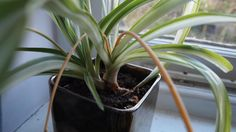 Spider plant (Chlorophytum comosum) earned its common name for the leggy, spiderlike appearance of its offshoots, which dangle on thin, wiry stems from the parent plant. Luz Solar, Chlorophytum, Golden Pothos, Jasmine Plant, Perennial Flowering Plants, Low Light Plants, Peace Lily, Spider Plants, Sleep Quality