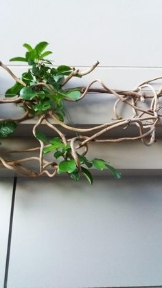 Wondering what this vine plant is was found in Auckland New Zealand.