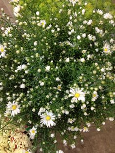 Aster 'Monte Cassino' pretty fluffy edge to the flowers.Sold in bunches of 10 stems from the Flowermonger the wholesale floral home delivery service.