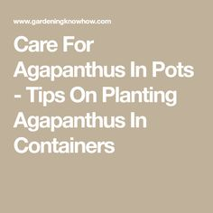 Care For Agapanthus In Pots - Tips On Planting Agapanthus In Containers