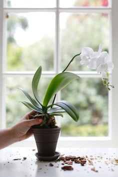 to Repot an Orchid Step by Step (Without Killing It) Be careful not to break any of the roots when removing the orchid from its current pot.Be careful not to break any of the roots when removing the orchid from its current pot. Indoor Orchids, Orchids Garden, Orchid Plants, Garden Plants, Indoor Plants, Orchid Repotting, The Orchid, How To Plant Orchids, Potted Plants