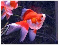 Goldfish Care, Breeds and Goldfish Diseases Goldfish Care, Colorful Fish, Tropical Fish, Freshwater Aquarium, Aquarium Fish, Fantail Goldfish, African Cichlids, Exotic Birds, Pisces