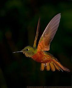 """Chestnut-breasted Hummingbird. Photo by: David Hemmings on Flickr. """"Hummingbirds"""""""