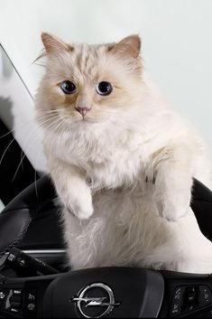 Choupette Lagerfeld Photographed by Karl Lagerfeld for Opel 2015 Calendar