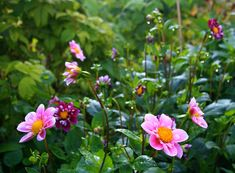 The War On Slugs-pink dahlia flowers