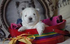 Chiots westies à réserver > Acheter un chiot West Highland White Terrier > 31 - Haute-garonne France - Eleveurs-Online.com                                                                                                                                                                                 Plus