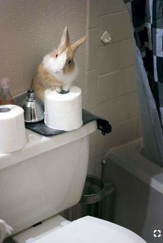 Gizmo stays in the bathroom while folks are away and was jokingly called the Bathroom Attendant, but lately he's been taking the job quite seriously. Cute Baby Bunnies, Funny Bunnies, Cute Baby Animals, Animals And Pets, Cute Babies, Funny Animals, House Rabbit, Pet Rabbit, Rabbit Toys