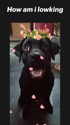 Yellow Lab Puppies, Black Labrador Dog, Labradoodle, Labrador Retriever, Dogs, Animals, Accessories, Labrador Retrievers, Animales