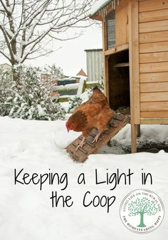 Pin1K Stumble17 Share336 Tweet Yum +110 Share4 Share Reddit9 Email WhatsApp To keep our chickens laying all winter long, we do something that many other homesteaders don't. I'm talking about keeping lights on in a chicken coop over winter. A chicken needs a certain number of daylight hours to lay, and during the winter, they… [read more]