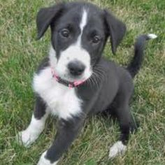 The dog i want!! A Border collie/Boxer mix!