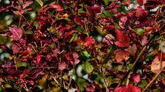 Jesień » Czerwony krzew ogrodowy » MRACH Fotografie