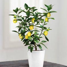 citroenboom te koop - Google zoeken