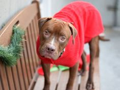 HAPPYTEARS ❤️❤️❤️ SAFE AGAIN 1/8/17❤️❤️ THANK YOU ❤️ I LOVE THIS PUP❤️ PLEASE TAKE PROPER CARE OF HIM FOREVER❤️ /ijRETURNED 1/6/17 ALLERGIES!!! SAFE 1/4/17!!! Brooklyn Center MILO – A1098677 ***SAFER : AVERAGE HOME*** MALE, BROWN / WHITE, AM PIT BULL TER MIX, 1 yr OWNER SUR – EVALUATE, NO HOLD Reason PERS PROB Intake condition UNSPECIFIE Intake Date 12/04/2016, From NY 10314, DueOut Date 12/04/2016