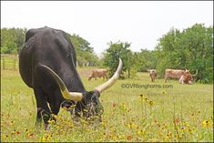 Another picturesque morning at the ranch. #gvrlonghorns Longhorn Cow, Longhorn Cattle, Texas Farm, Texas Ranch, Cattle Farming, Livestock, Stephenville Texas, Cattle For Sale, Green Valley Ranch