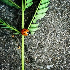Ladybirdy posing #ladybird #photography #green #leave #beauty #lovely #image #letsgetaway #together #letsbeadventurers #summertime #sunmer #mood #instaphoto #dailyphoto #dailyinspiration #dreamexplorediscover #inspire #love