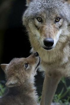 A Wolf Pup for Zoo Zurich! A Mongolian wolf pup looking to her Mum. Wolf Spirit, Spirit Animal, Beautiful Creatures, Animals Beautiful, Tier Wolf, Baby Animals, Cute Animals, Wild Animals, Wolf Pup