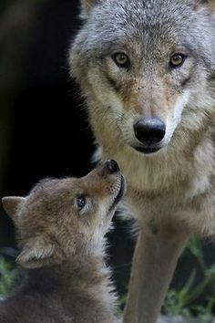 wonderous-world:Mongolian Wolf Pup at Zoo Zurich(Peter Bolliger, Zooborns)