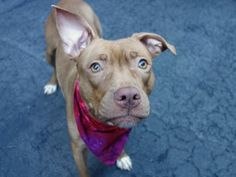 Manhattan Center LIANNIE – A1027455 *** AVERAGE HOME *** RELEASED FROM DOH HOLD FOR RESCUE OR ADOPTION 3/17/15 *** FEMALE, BROWN / WHITE, PIT BULL MIX, 2 yrs STRAY – STRAY WAIT, NO HOLD Reason STRAY Intake condition UNH&UNTREA Intake Date 02/08/2015
