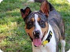 Fort Myers, FL - Catahoula Leopard Dog Mix. Meet CISCO, a dog for adoption. http://www.adoptapet.com/pet/17139610-fort-myers-florida-catahoula-leopard-dog-mix