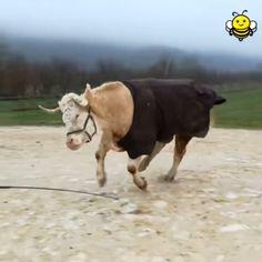 funny horse memes so true ; Funny Horse Videos, Funny Horse Memes, Funny Horse Pictures, Funny Horses, Cute Horses, Cute Animal Videos, Baby Horses, Cute Cows, Cute Funny Animals