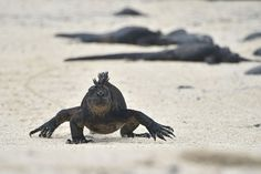 A Mexican man has been detained in Ecuador for trying to leave the Galapagos Islands with 11 endangered iguanas in his luggage, authorities said Monday.