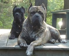 The traits we like about the Elegant Great Dane Dogs Cane Corso Italian Mastiff, Cane Corso Mastiff, Cane Corso Dog, Cane Corso Puppies, Mastiff Dogs, Animals And Pets, Cute Animals, Bullmastiff, Rottweilers