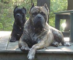The traits we like about the Elegant Great Dane Dogs Cane Corso Italian Mastiff, Cane Corso Dog, Animals And Pets, Cute Animals, Bullmastiff, Rottweilers, Pitbulls, Huge Dogs, Mastiff Dogs