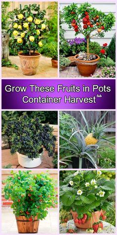 Container Gardening Grow Fruits in Pots DIY Tutorials Potted trees, Dwarf fruit trees, Container gar Growing Fruit, Container Garden Design, Plants, Dwarf Fruit Trees, Growing Plants, Fruit Trees, Winter Vegetables Gardening, Container Gardening, Container Gardening Vegetables