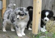 Australian Shepherd puppies with a natural full undocked tail :)
