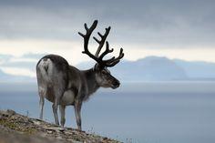 Reindeer in Longyearbyen - Spitzberg - Svalbard