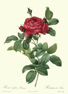 Rose by Pierre-Joseph Redouté 1824. Antique botanical rose illustration.