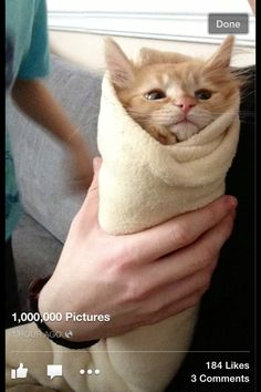 Tortilla kitten