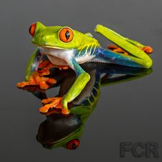 This domain may be for sale! Tree Frogs For Sale, Tree Frog Tattoos, Frog Pictures, Red Eyed Tree Frog, Cute Frogs, Frog And Toad, Reptiles And Amphibians, Red Eyes, Kingfisher