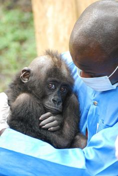 Animal Conservaton - Orphaned Gorillas in Africa Under Watchful Care at Rehabilitation and Conservation Center Supported by Disney