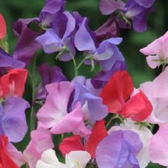 Sweet Pea Royal Mix Seeds - Irish Plants Direct