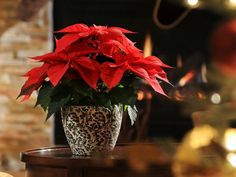 Keep Those Poinsettias Popping With These Care Tips