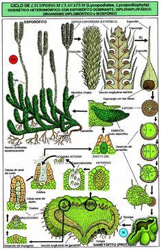 Lycopodium life cycle