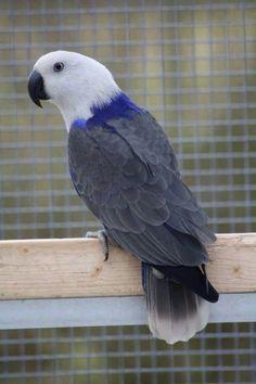 """Blue mutation of a hen Eclectus Parrot. From Jagrie Bird Park, NL. All Birds, Cute Birds, Pretty Birds, Beautiful Birds, Animals Beautiful, Exotic Birds, Colorful Birds, Exotic Pets, Parrot Pet"