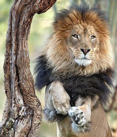 Izu the lion is pictured mid-prance in the Lion Camp at San Diego Zoo Safari Park.