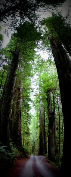 Howland Hill Road Redwood Trees