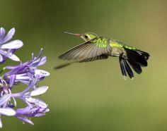 Foto besourinho-de-bico-vermelho (Chlorostilbon lucidus) por José Branco | Wiki Aves - A Enciclopédia das Aves do Brasil