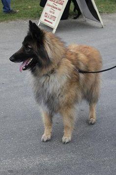 BELGIAN SHEPHERD DOG TERVUREN-the other type of Belgian shepherd